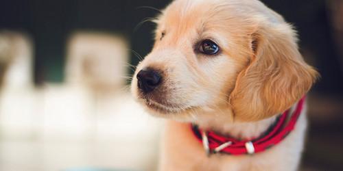 Golden Retrievers wallpaper titled golden retriever puppies