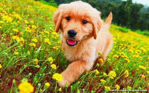 Golden Retrievers wallpaper entitled golden retriever puppies