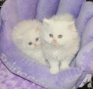 子猫 w/blue eyes