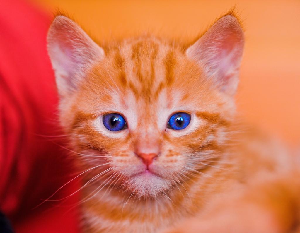 Kittens W Blue Eyes Kittens Photo 41527429 Fanpop
