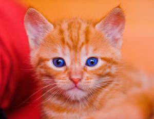 kittens w/blue eyes