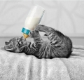 kitties drinking from bottle - kittens photo