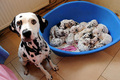 mama and babies - dogs photo