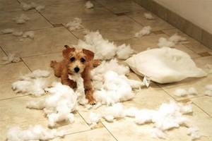 mischievous chó con