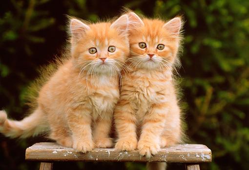 नारंगी, ऑरेंज tabby बिल्ली के बच्चे