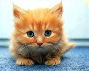 orange tabby chatons