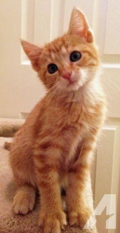 оранжевый tabby Котята