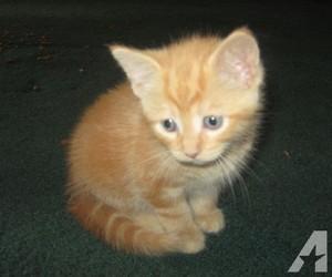 橙子, 橙色 tabby 小猫