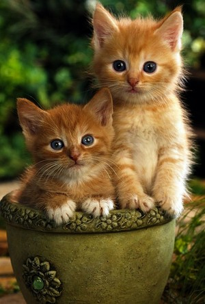 orange tabby chatons