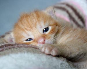 jeruk, orange tabby kittens
