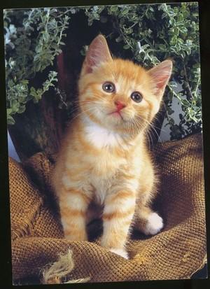 machungwa, chungwa tabby kittens