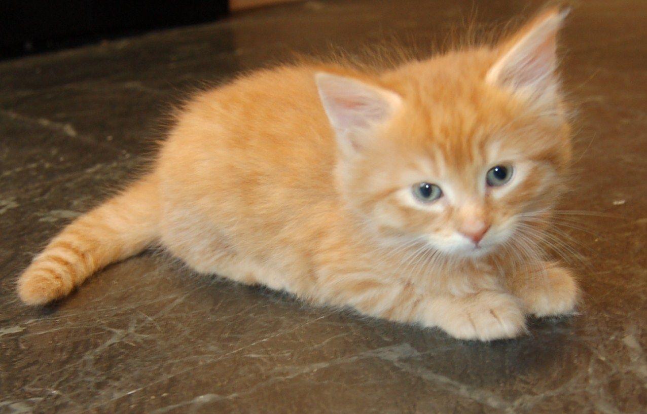 orange tabby anak kucing
