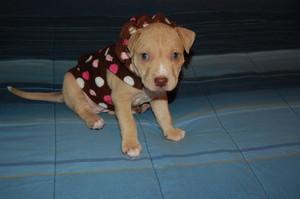 precious pit ブル 子犬