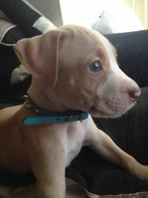 precious pit bull puppies