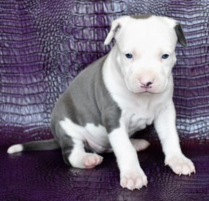 precious pit bull puppies