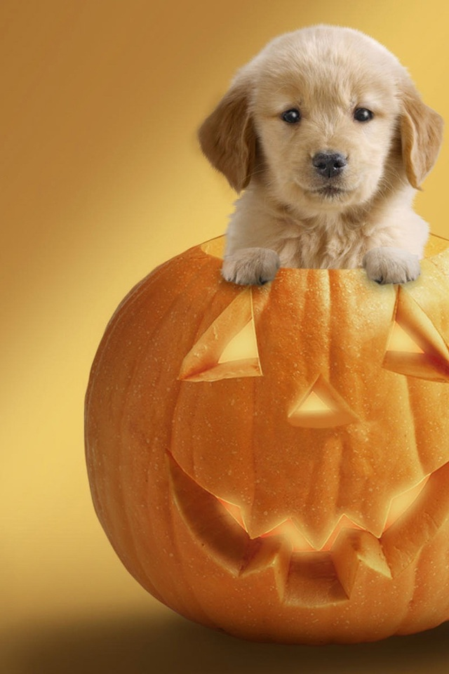 Cute Puppies Images Puppies And Pumpkins Hd Wallpaper And Background
