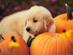 chiots and pumpkins