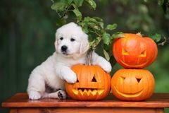tuta and pumpkins