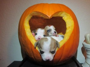 chiots and pumpkins