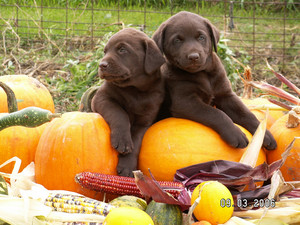cachorrinhos and pumpkins