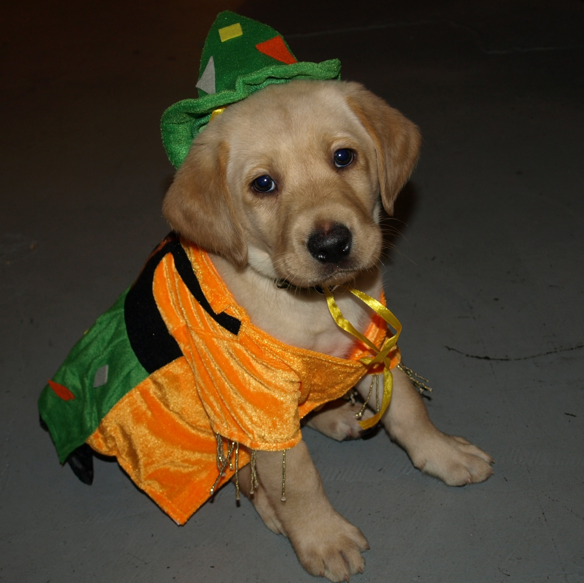 Puppies In Costume   Cute Puppies Photo (41561900)   Fanpop