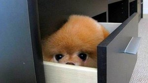 puppies playing peek-a-boo