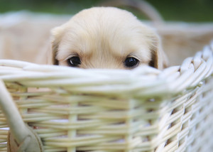 anak anjing playing peek-a-boo