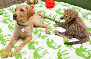 chiot and cheetah