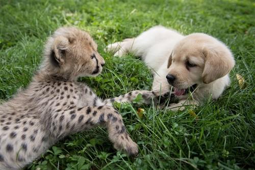 greyswan618 wallpaper titled cachorro, filhote de cachorro and cheetah