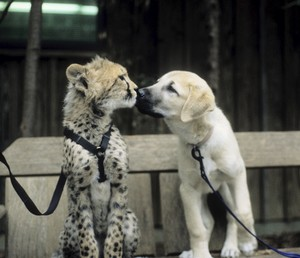 puppy and cheetah