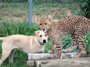 cachorro, filhote de cachorro and cheetah