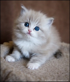 ragdoll mèo con