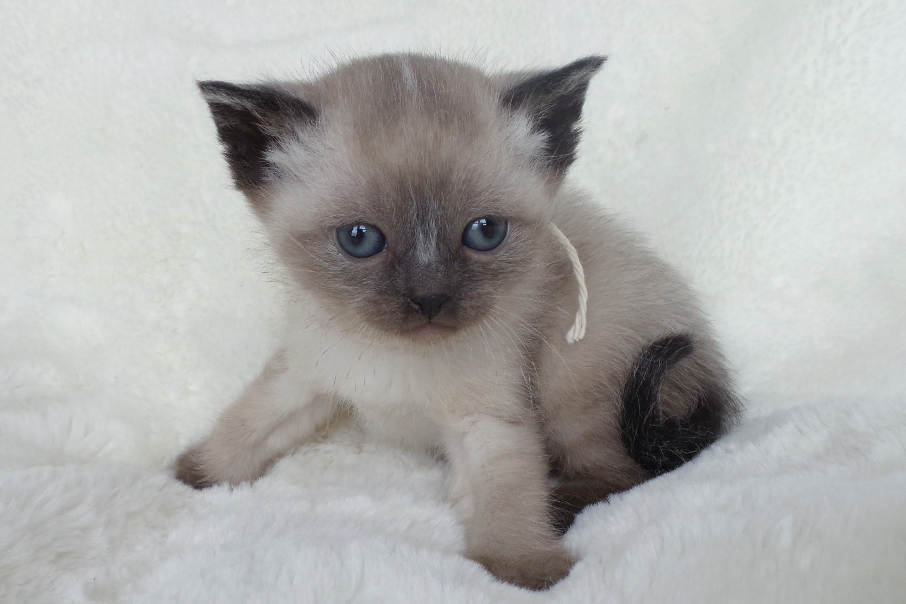 cute kittens images siamese kittens hd wallpaper and background