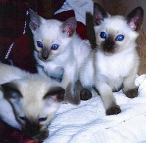 siamese Kätzchen