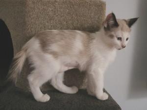 snowshoe बिल्ली के बच्चे