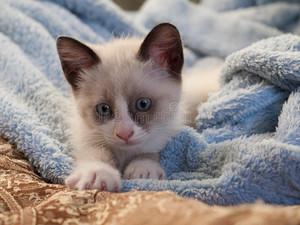 snowshoe mèo con