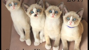 snowshoe kittens
