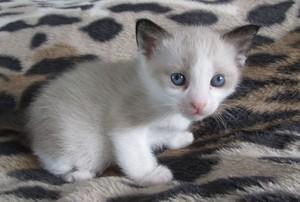 snowshoe Kätzchen