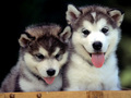 so cute dog puppies💖 - animals photo