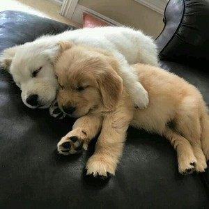 so cute goldie puppies💖