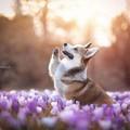 sweet corgi💖 - lavendergolden photo