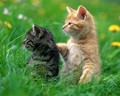 sweet kitten🌹♥ - animals photo