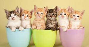 cangkir teh, cangkir kittens