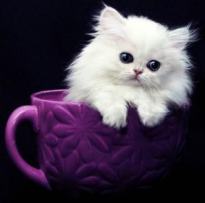 theekopje kittens
