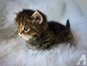 teacup kittens