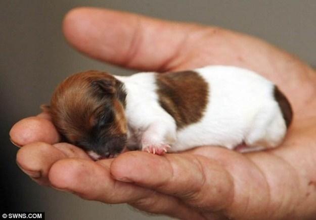 tiny chó con