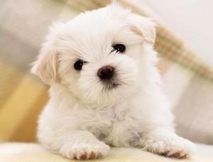 tiny 小狗
