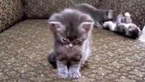 tired mèo con