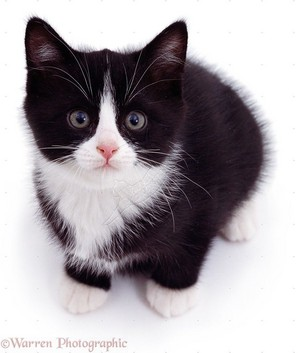 very cute black and white 小猫