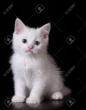 white Kätzchen